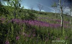 Wildflower Landscape Wallpaper of Fireweed & Quaking Aspen