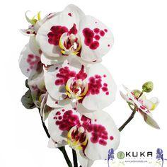 Faltan 4 días para el curso de Orquídeas, con Ángel Sanchis. Recuerda, es ¡GRATIS!   Mocadorá: https://www.jardineriakuka.com/blog/eventos/la-mocadora.html  Orquídea: https://www.jardineriakuka.com/blog/cuidados-de-plantas/plantas-de-interior/las-orquideas.html  #plantainterior #planta #orquídea #orquideaoriginal #orquideaphalaenopsi #phalaenopsi #curso #cursodeorquídea