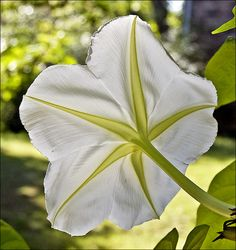 moon flower backlight