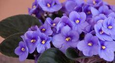 http://www.jardiner-malin.fr/fiche/violette-africaine.html