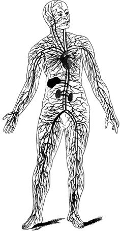 circulatory_28555_lg.gif (531×1024)