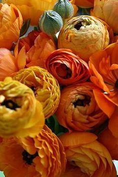 Gorgeous peonie roses - stunning oranges