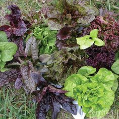 Wild Garden Lettuce Mix Organic...lovely colors and textures and hopefully can get it out in late February...