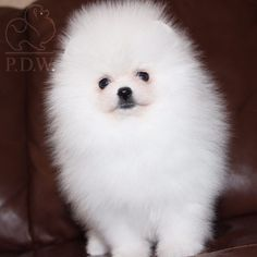 🇷🇺Moscow / Available Pomeranian spitz Mini size and show perspective 🌎Shipping worldwide 📲Information in WhatsApp 📞+790 555 33 9 33 💸Reservation and payment dy PayPal