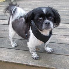 Meet Domino, an adoptable Cavalier King Charles Spaniel looking for a forever…