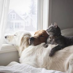 @wat.ki Golden Retrievers, Labrador Retrievers, Animals And Pets, Baby Animals, Funny Animals, Cute Animals, Funny Dogs, Tv Funny, Animals Images