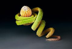 Perched on the tendril of a Passiflora plant, the egg of the Julia heliconian butterfly may be safe from hungry ants