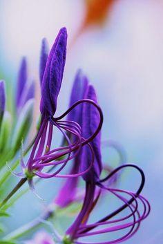 In lila verwickelt - Purple 紫色 - Unusual Flowers, Rare Flowers, Amazing Flowers, Colorful Flowers, Purple Flowers, Beautiful Flowers, Weird Plants, Unusual Plants, Rare Plants
