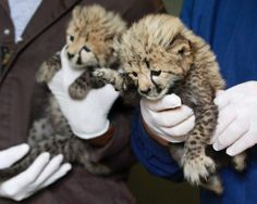Meet the one-month-old cheetah cubs that are lucky to be alive. The female (l.) and male (r.) cubs were delivered by a rare caesarian section in Virginia in April. The cubs had to be delivered by veterinarians at the Smithsonian Conservation Biology Institute after their mother suffered complications during birth, reports the AP. Luckily, the vets were able to save two of the cubs in a 'rare and risky' procedure and the National Zoo has since scooped them up. Check out more photos of the…