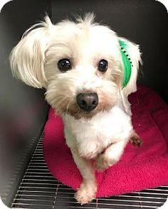 Costa Mesa, CA - Maltese/Toy Poodle Mix. Meet Holly, a dog for adoption. http://www.adoptapet.com/pet/17788787-costa-mesa-california-maltese-mix