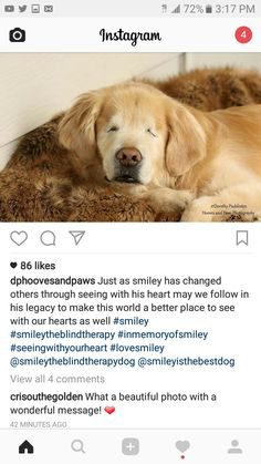 Blind Golden Retriever Smiley By Happy Tails Pet Photography - Born blind smiley the golden retriever becomes a loving therapy dog
