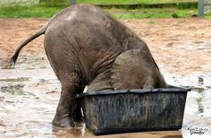 bebe elefante con la cabeza dentro del bote de agua