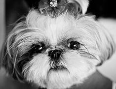 Shih tzu face Her Royal Majesty Bree Bree Elizabeth From sadieshihtzu.com