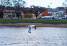This is one of my favourite bird photos to date. It is a seagull flying on the Mersey river in Devonport. In the background you can see the Devonport Fire Station.  This photo was taken with the Pentax K-1.  #tasmania #tasmaniagram #discovertasmania#instatassie #expeditionoutdoors #SeeAustralia#discoveraustralia #earthpics #bestnatureshots#igpowerclub #igphotoworld #GlobalCapture#Exploringtheglobe #bestworldpics#phenomenalshot #AdventureTasmania #photooftheday #traveldiary#beautifulnature…