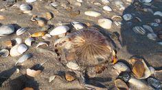 Jellyfish, Holland, Bergen 2013