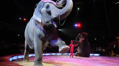 Elefant im Zirkus | Bild: picture-alliance/dpa  Vote : against or for animals in circus : click 'Ja' (animals don't belong in circus)