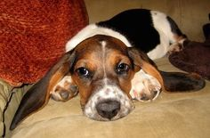 Sophiee the Basset Hound as a puppy laying on the couch with her ears spread to the sides