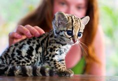 Baby Ocelot- cutest baby animal in all of the world.