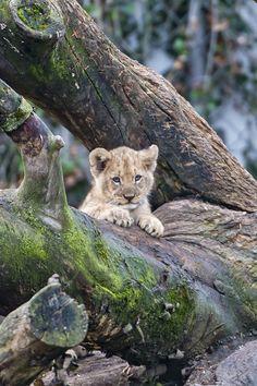 Cub posing on the big tree ..