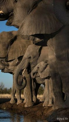 """A herd of elephants. Photo by Greg Dutoit. A herd of elephants. Photo by Greg Dutoit The title says it… geographicwild: """". A herd of elephants. Photo by Greg Dutoit The title says it all. Photo Elephant, Elephant Pictures, Elephants Photos, Elephant Love, Animal Pictures, Newborn Elephant, Elephant Facts, The Animals, Cute Baby Animals"""