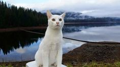 Stovepipe The Traveling Cat poses in front of Lake Siskiyou near Mount Shasta, California - http://travelling-cats.blogspot.be/2015/01/cat-from-mount-shasta-usa.html