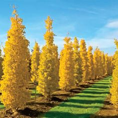 Goldspire™ Ginkgo Attractive green, fan-shaped foliage that turns gorgeous golden yellow in fall, coupled with a dense columnar habit, make this variety an excellent specimen. An easy fit for smaller landscapes, growing up to just tall and only Columnar Trees, Deciduous Trees, Trees And Shrubs, Trees To Plant, Garden Trees, Garden Plants, Fence Trees, Ginko Tree, Spring Hill Nursery