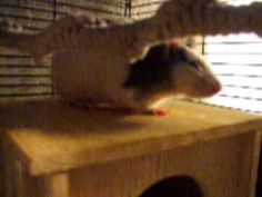 litter box training your rat - YouTube
