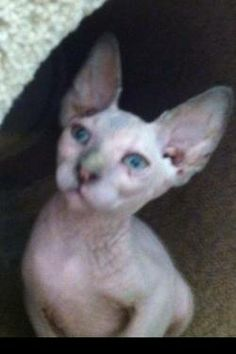 sphynx kittens#FOR SALE#CALIFORNIA#READY TO GO#951 698-6615#