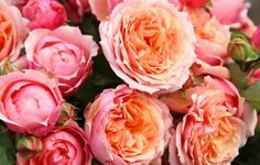 Les rosiers (Rosa)