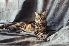 Maine Coon by NikSorl on @creativemarket
