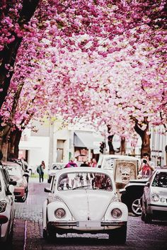 Flowering trees, cobblestone street, and vintage car