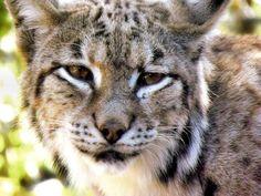 Lynx lynx by Lynx Lynx, Eurasian Lynx, Best Friends Pets, All Things Cute, Wildlife Photography, Big Cats, Online Art Gallery, Snuggles, Mammals