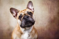 Izzy by Claudia Banzer on 500px, French Bulldog
