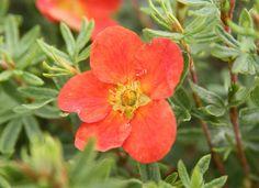 POTENTILLA fruticosa MARIAN RED ROBIN ® 'Marrob'