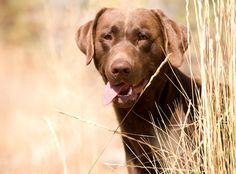 Top 10 best hunting dogs