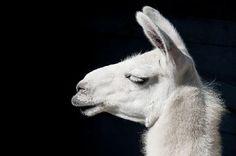 Image from http://fotos.imagenesdeposito.com/imagenes/p/perfil_de_llama_blanca-2171.jpg.