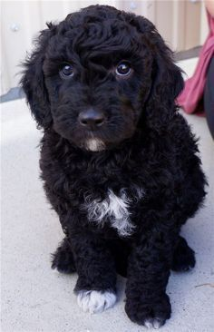 Check out this list of cute goldendoodle puppies that will take your breath away puppy Goldendoodle Black, English Goldendoodle, Goldendoodle Puppy For Sale, Bernedoodle Puppy, Cockapoo Puppies, Cute Puppies, Cute Dogs, Cockapoo Grooming, Goldendoodle Miniature