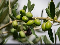 branch of green organic olives