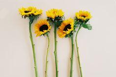 August sunflowers #blooms #flowers #summer