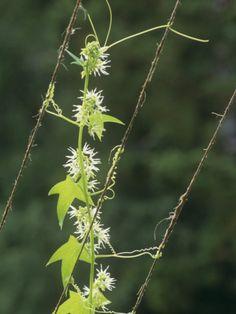 charles-mcrae-hop-vines-humulus-lupulus-growing-on-strings-showing-leaves-flowers-and-tendrils