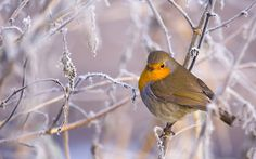 European robin amongst frost-covered branches, photo by Robin Parkinson