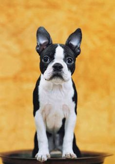 Boston Terrier Breed information from the American Kennel Club. Source by FurzetteNews The post Boston Terrier Dog Breed Information appeared first on Gwen Howarth Dogs. I Love Dogs, Cute Dogs, Awesome Dogs, Boston Terrier Love, Boston Terrier Puppies, Red Boston Terriers, Mastiff Puppies, Bulldog Puppies, Terrier Breeds