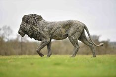 Bronze, signed, dated and numbered Lion Walking, Wild Lion, Sculptures, Lion Sculpture, He Is Able, Mark Making, Big Cats, Sculpting, Beast