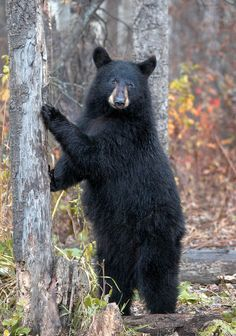One of these looked you in the eye when you were surveying from a mountain side. You told me the story in the white mountains N.H. :) Black Bear