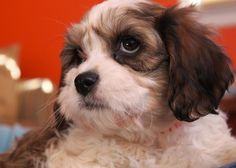 Just like our little Gizmo! Puppy Pics, Puppy Pictures, Cavachon Puppies, Bichon Frise, Cavalier King Charles, Just For Fun, Fur Babies, Wildlife, Warm