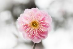 Here's Looking At You, Kid -- Beautiful pink plum blossom // By David LaSpina of JapanDave.com