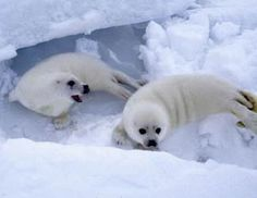 Seals Swimming - - Yahoo Image Search Results