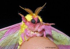 Butterflies and Moths of North America | collecting and sharing data about Lepidoptera