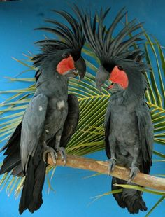 Palm Cockatoos use sticks to drum against their hollowed tree nest to either attract potential mates or to alert neighbouring males to their claim on a territory.