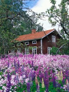 A beautiful garden/yard filled with Lupins.